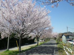 りんりんロード沿いの桜